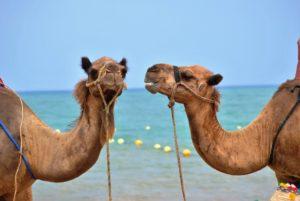 Camels Conversing
